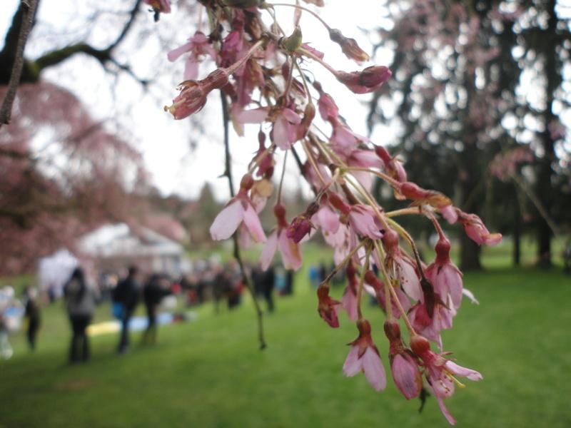 Van Dusen Cherry Blossom Festival